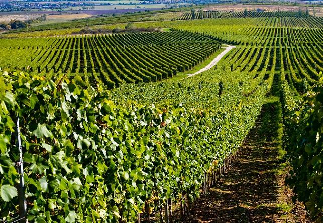 Ruta por Hungría. Ruta vinícola